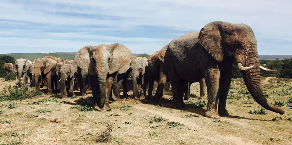Zahnwechsel beim Elefanten
